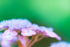 Closeup of hydrangea flower Royalty Free Stock Photo