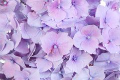 Closeup of a hydrangea flower Stock Images