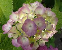 Closeup of Hydrangea, smile pink or pink fresh, in the rain. Tokyo,Japan-June 21,2017:Hydrangeas are popular garden shrubs with delicate heads of flowers in Royalty Free Stock Photos