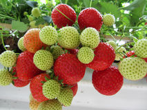 Closeup of hydroponic cultivated strawberry plants. In the large glasshouse of a specialized nursery in the Netherlands Stock Image