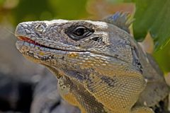 Closeup of iguana. Taken at Tulum Royalty Free Stock Photography