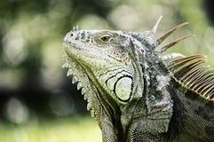 Iguana basking in the sun royalty free stock image
