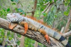 Closeup of Iguana Stock Photo