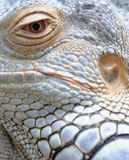 Closeup of Iguana eye and skin royalty free stock images