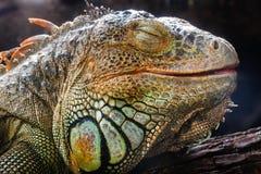 Closeup an iguana face Royalty Free Stock Image