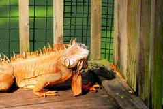 Closeup of iguana, Florida Stock Images