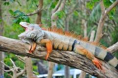 Closeup of Iguana Royalty Free Stock Images