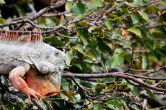 Closeup of Iguana Royalty Free Stock Photo