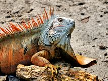 Closeup of iguana with a large dewlap. A large adult iguana in a South Florida park Stock Photo