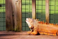 Closeup of iguana Royalty Free Stock Photography