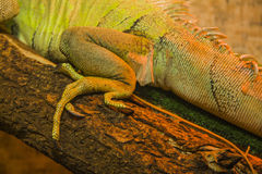 Closeup of Iguana legs. Close up shot of a green Iguana resting on a tree branch stock photo