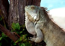 Closeup of an Iguana Lizard. With a tree and the Ocean in the background royalty free stock photo