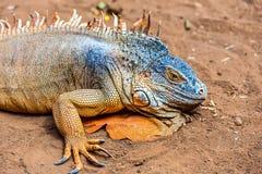 Closeup of iguana or lizard Stock Images