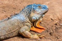 Closeup of iguana or lizard Stock Photo