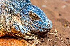 Closeup of iguana or lizard Royalty Free Stock Image