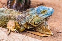 Closeup of iguana or lizard Royalty Free Stock Images