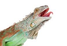 Closeup Iguana Mouth Open Tongue Out Stock Photo