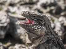 Closeup of a iguana with open mouth. Closeup of a iguana photographed on a Cuban cayo royalty free stock photography