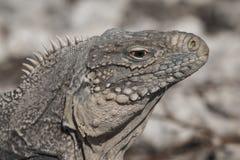 Closeup of a iguana Royalty Free Stock Photos