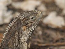 Closeup of a iguana Stock Photos