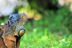 Closeup of an iguana Royalty Free Stock Photography