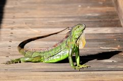 Closeup of iguana posing Stock Images