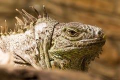 Closeup of an iguana reptil face. Closeup of an iguana face dino reptil Royalty Free Stock Image