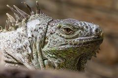 Closeup of an iguana reptil face 2. Closeup of an iguana face dino reptil Stock Photo