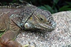 Closeup of an Iguana Royalty Free Stock Photo