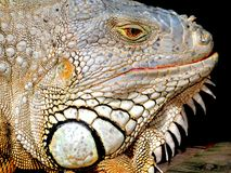 Closeup of iguana with white face Royalty Free Stock Photography