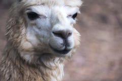 Closeup image of an alpaca stock image
