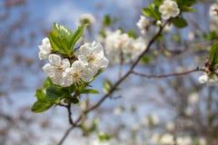 Spring Blossom Cherry Tree. Closeup image of cherry tree in spring blossom stock image