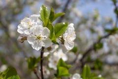 Spring Blossom Cherry Tree. Closeup image of cherry tree in spring blossom royalty free stock image