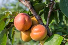 Apricot Branch With Ripe Fruits. Closeup image of apricot branch with ripe fruits on it royalty free stock images