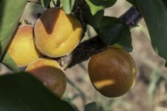 Apricot Branch With Ripe Fruits. Closeup image of apricot branch with ripe fruits on it royalty free stock photo