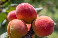 Apricot Branch With Ripe Fruits. Closeup image of apricot branch with ripe fruits on it stock image