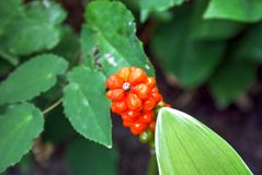 Orage berries of Arum italicum plant. Closeup image of Arum italicum berries at the New York Botanical Garden royalty free stock image