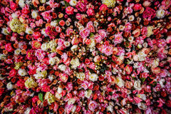 Closeup image of beautiful flowers wall background. With amazing red and white roses royalty free stock photography