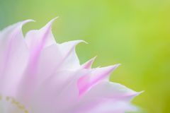 Closeup Image of Beautiful Pink Cactus Flower on Green Background Royalty Free Stock Photos