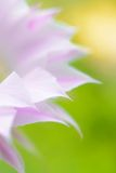 Closeup Image of Beautiful Pink Cactus Flower on Green Background Stock Photography