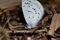 Blue Dotted Moth Macro. Closeup image of Blue-dotted Moth on brown foliage ground Stock Images