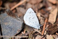 Blue Dotted Moth Profile. Closeup image of Blue-dotted Moth on brown foliage ground Royalty Free Stock Photo
