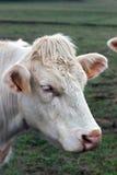 Closeup image Brahman heifer, beige cow with identification ear tags. Stock Photo