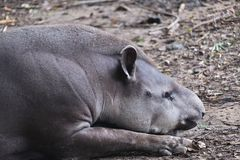 A Brazil tapir lying down and sleeping on the ground royalty free stock image