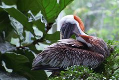 Closeup image of Brown Pelican on the tree