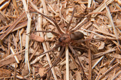 Closeup image of a Brown Recluse, Loxosceles reclusa Royalty Free Stock Photography