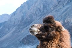 Closeup image of a camel with mountain stock photography
