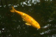 Carp fish story royalty free stock photos