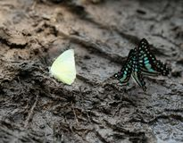 Crowded colorful butterflies on the muddy ground Royalty Free Stock Photos