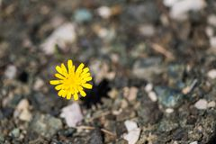 Closeup image of dandelion growing up from the gravel. The concept of life and motivation. Struggle for life. Desire to live stock photography